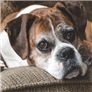 Dog Ear Conditions   10 Most Common Conditions   RightPet